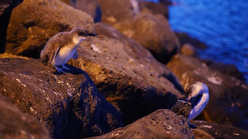 St Kilda pier penguins by Lennart Nacke