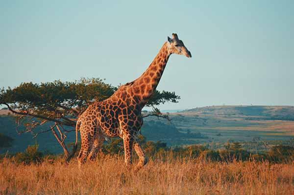 English, Zulu, Xhosa, Afrikaans, Northern Sotho, Tswana, Southern Sotho, Tsonga, Swazi, Venda, Southern Ndebele ✩ ZAR ✩ Pretoria ✩ 58.7 Million
