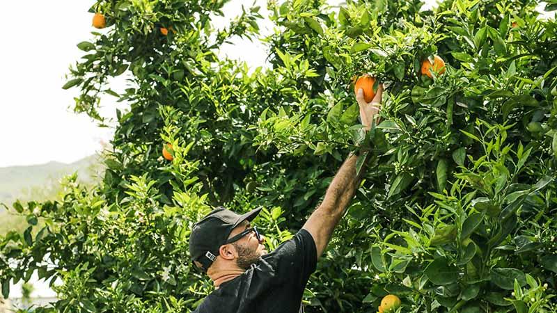 Arbeiten auf einer Farm in Australien - Fruit Picking
