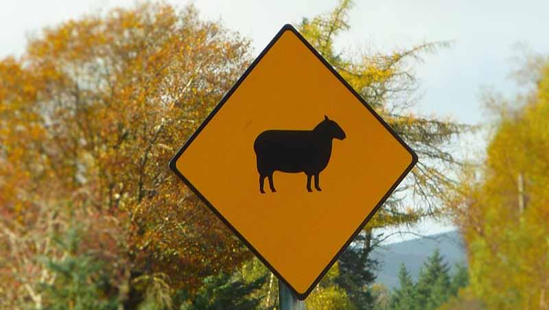 Irish traffic sign warning for sheeps on the road